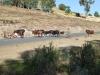 Přehánění dobytka