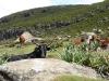 Pastva dobytka