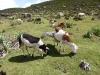 Pastva ovcí