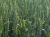 Pšenice v Klukách