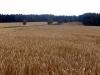 Pšenice u Lhoty Bubeneč 5.8.2004
